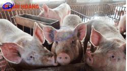 Nhộn nhịp ngày lợn tăng giá